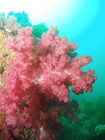 02softcoral
